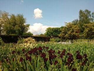 Die Geschichte der Iris-Blume aus dem Vullierens Schlossgarten